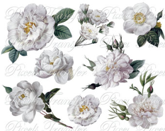 White Rose clipart brown flower #6