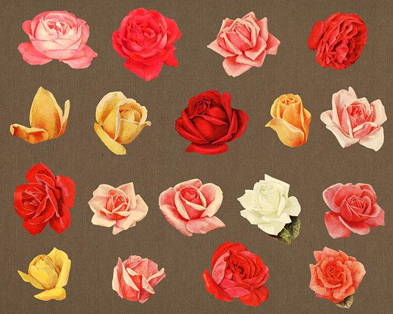 White Rose clipart brown flower #4