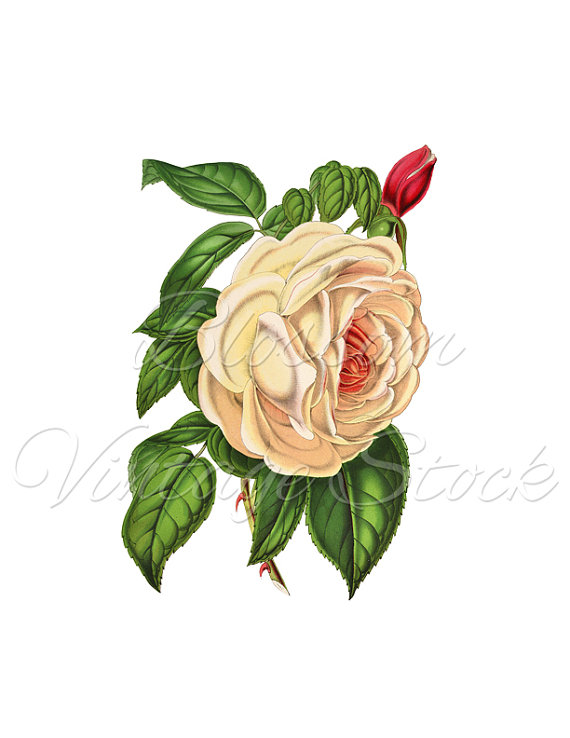 White Rose clipart graphic Image Clipart  Graphic DOWNLOAD
