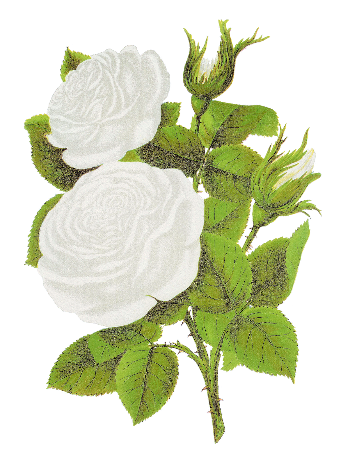 White Rose clipart graphic Free is Digital catalog digital