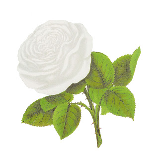 White Rose clipart illustration #8