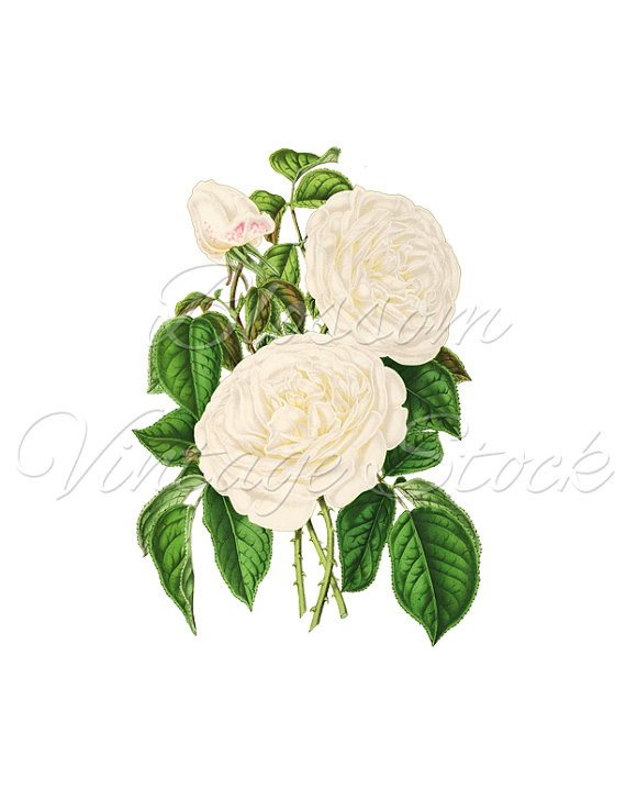 White Rose clipart illustration #6