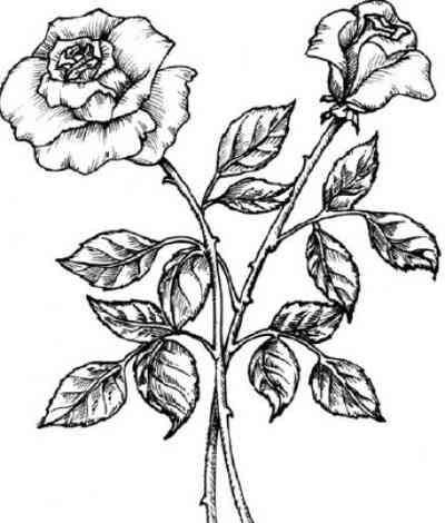 Drawn rose bush flower clipart White With White Clip Clip