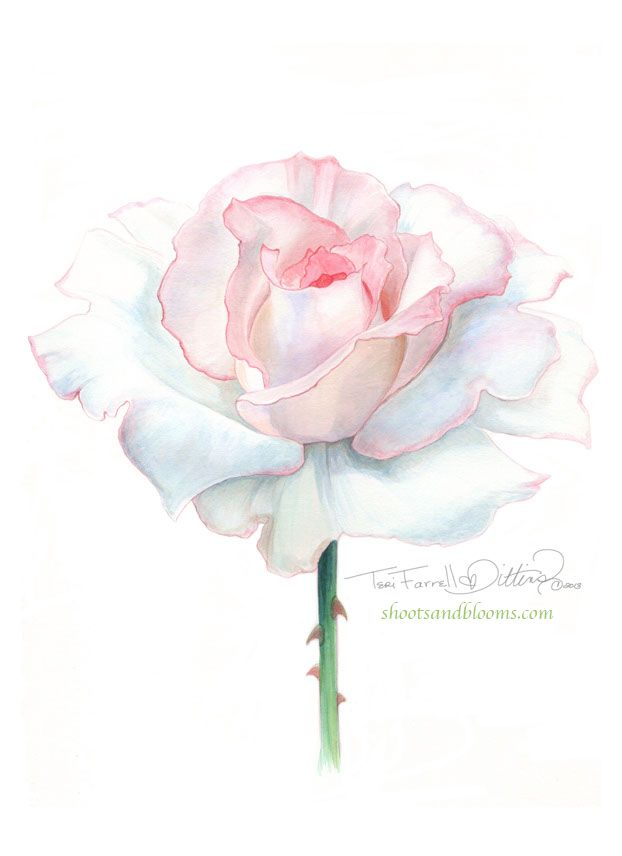 White Rose clipart pen and ink #10