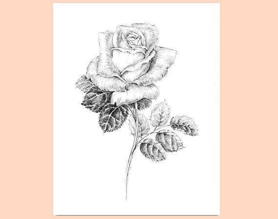 White Rose clipart pen and ink #3