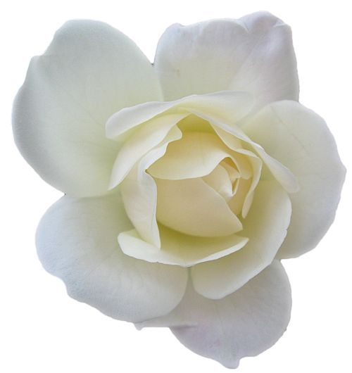 White Rose clipart real Rose White to Email Rose