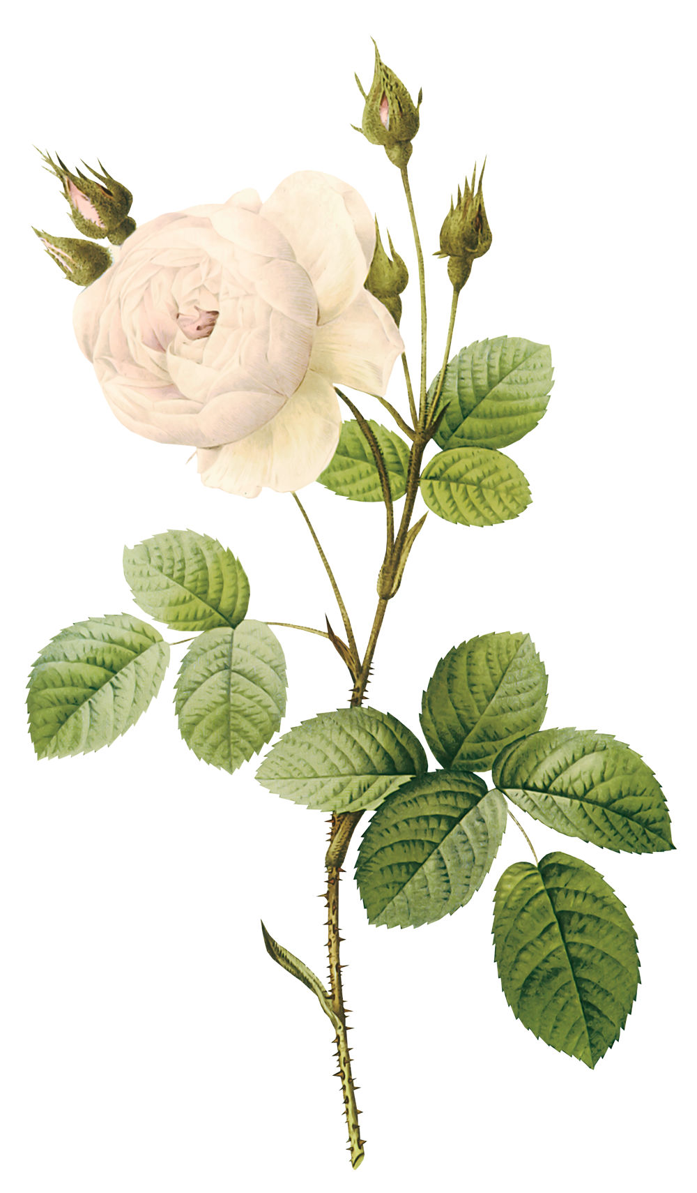 White Rose clipart real #10