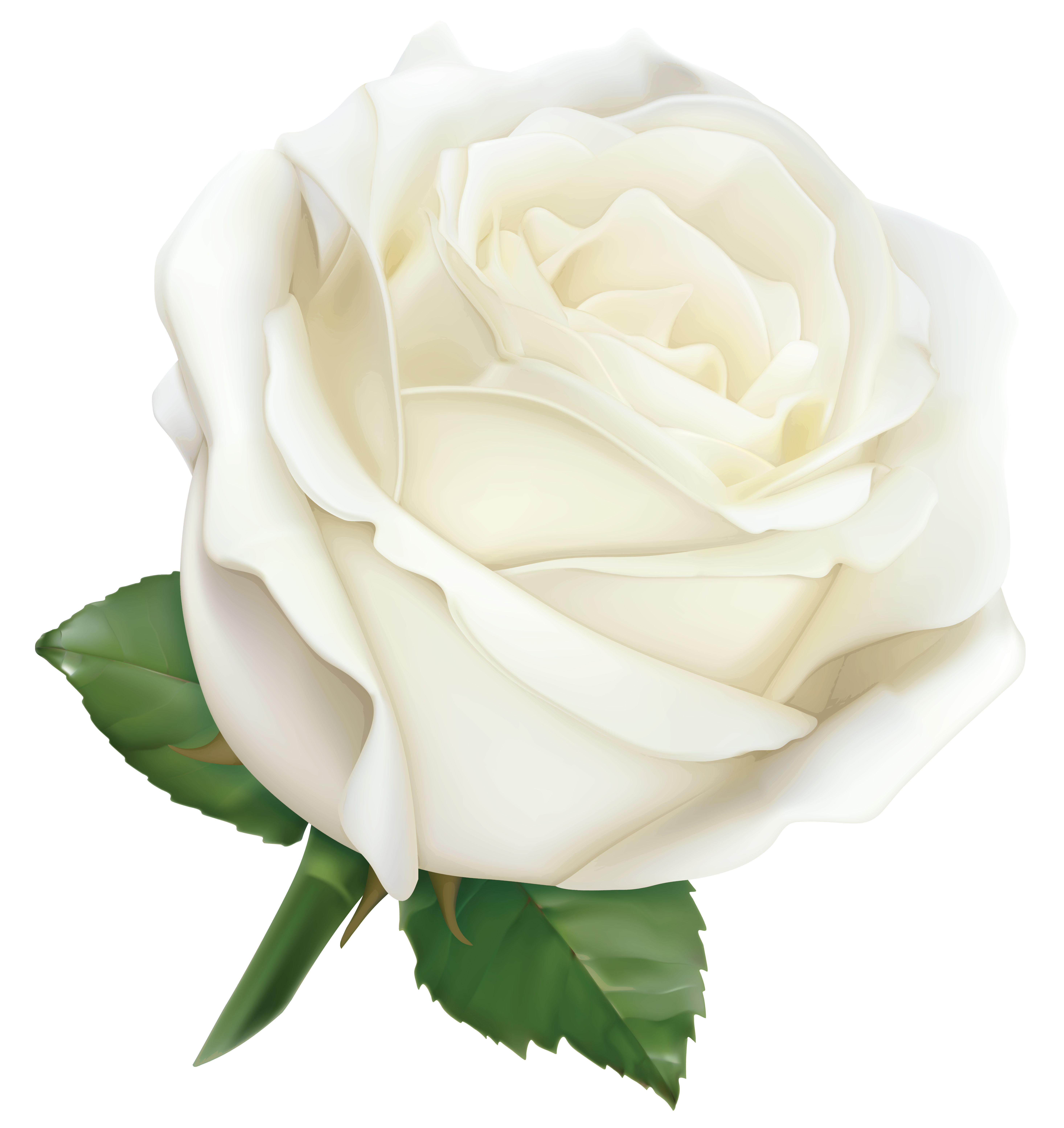 White Rose clipart real Full  Gallery size High