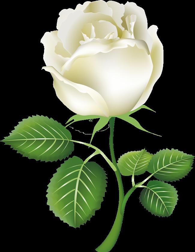 White Rose clipart rose garden Pixtures images White image flower