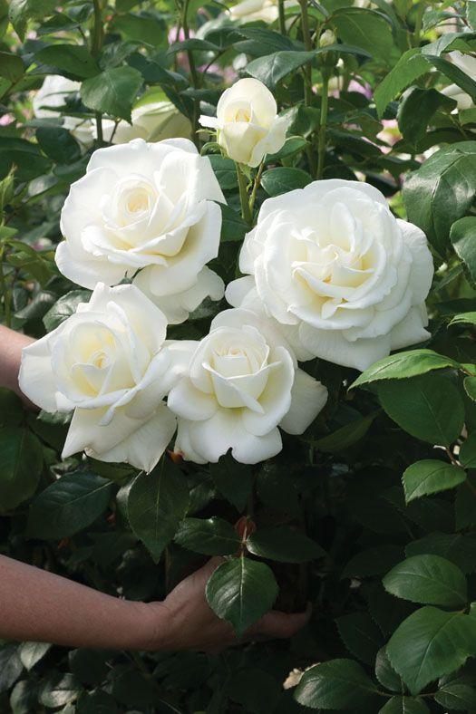 White Rose clipart rose garden Sugar 15 best my garden
