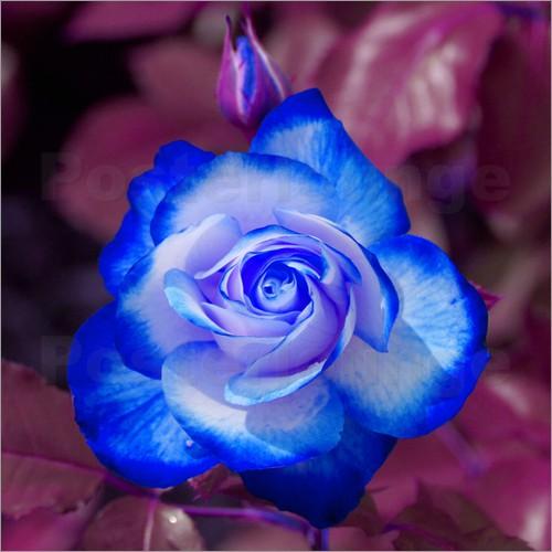 White Rose clipart rose garden Kattobello Art white and Blue