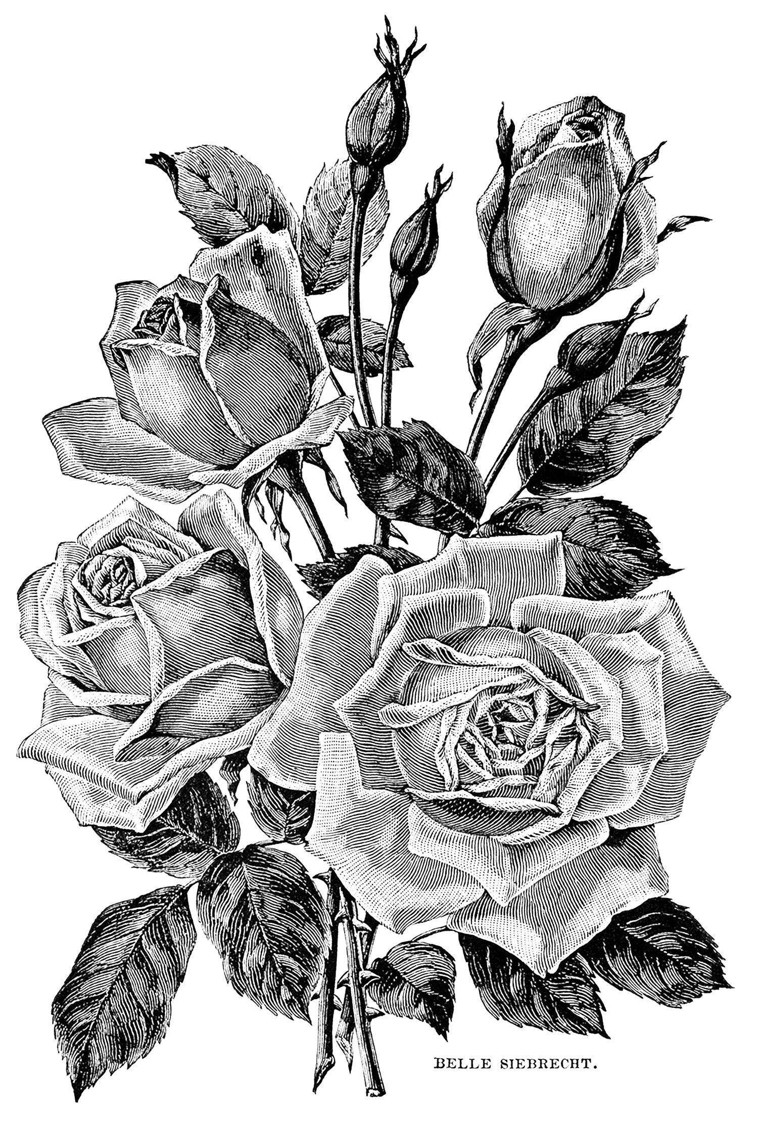 White Rose clipart rose garden  flower garden black And