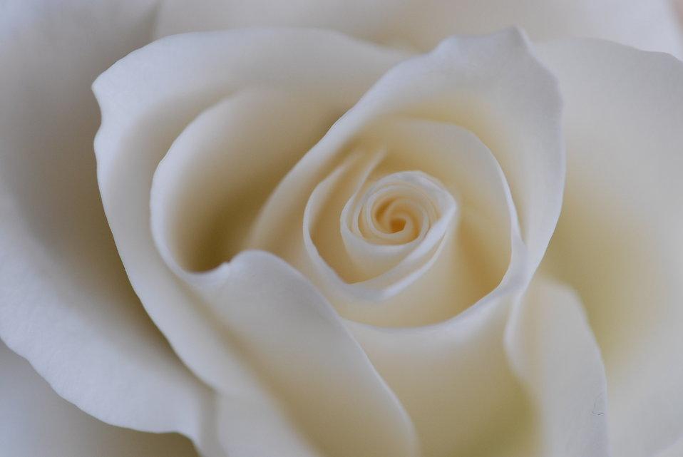 White Rose clipart rose garden White art #28 Rose Clipart