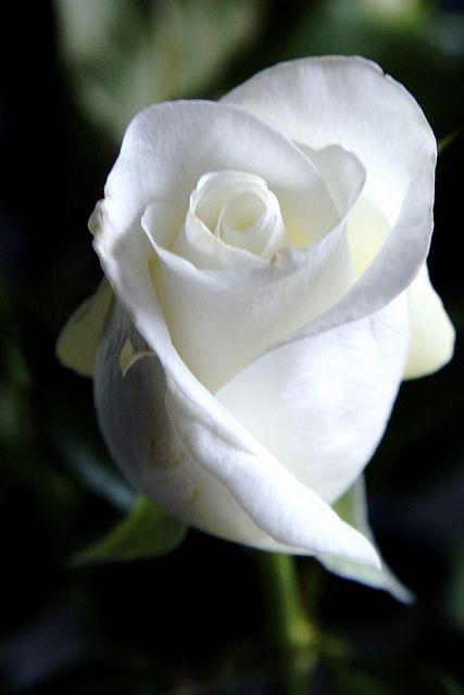 White Rose clipart rose garden White Best 25+ flower on