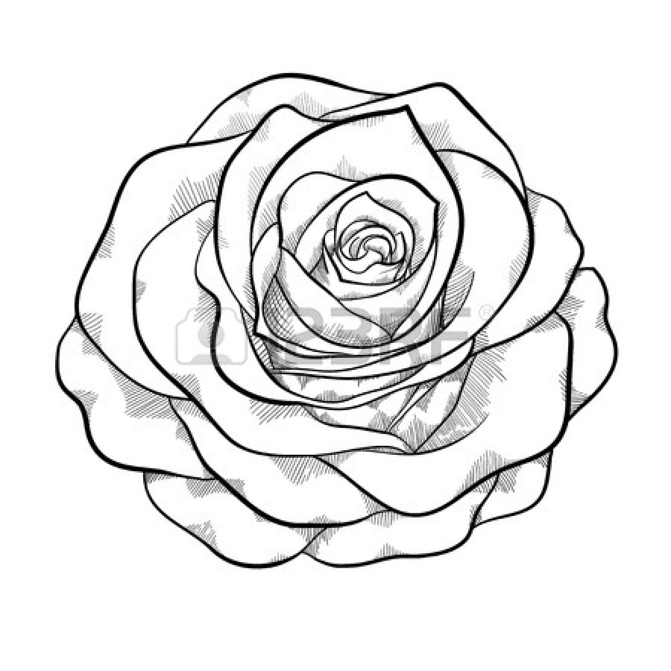 Drawn rose black and white Roses Rose Roses Roses