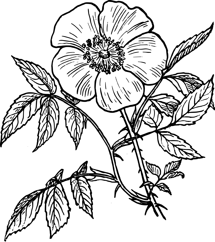 Drawn rose rose line Coloring Free black Clip eglantine