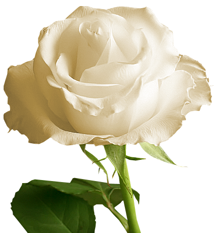 Yellow Rose clipart transparent #8