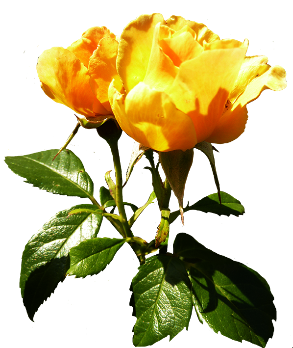 Yellow Rose clipart rosebud #10