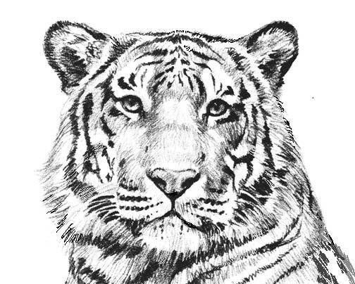 White Tiger clipart Ideas Pinterest Books best White