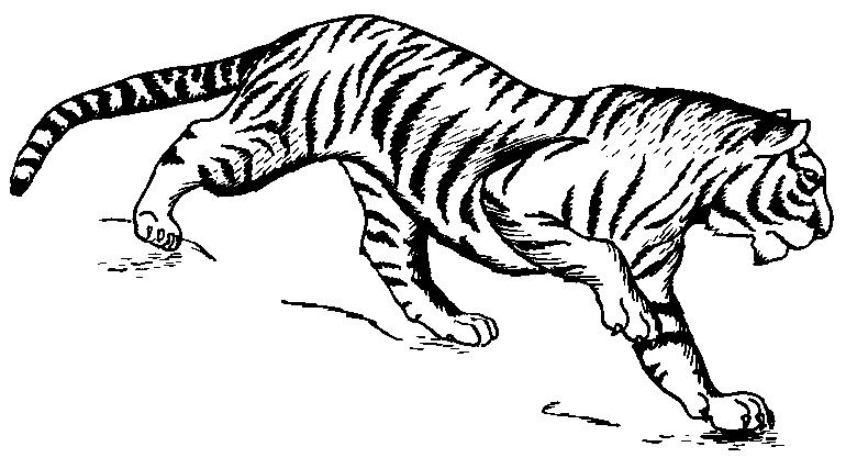 White Tiger clipart White of Clip Black Free