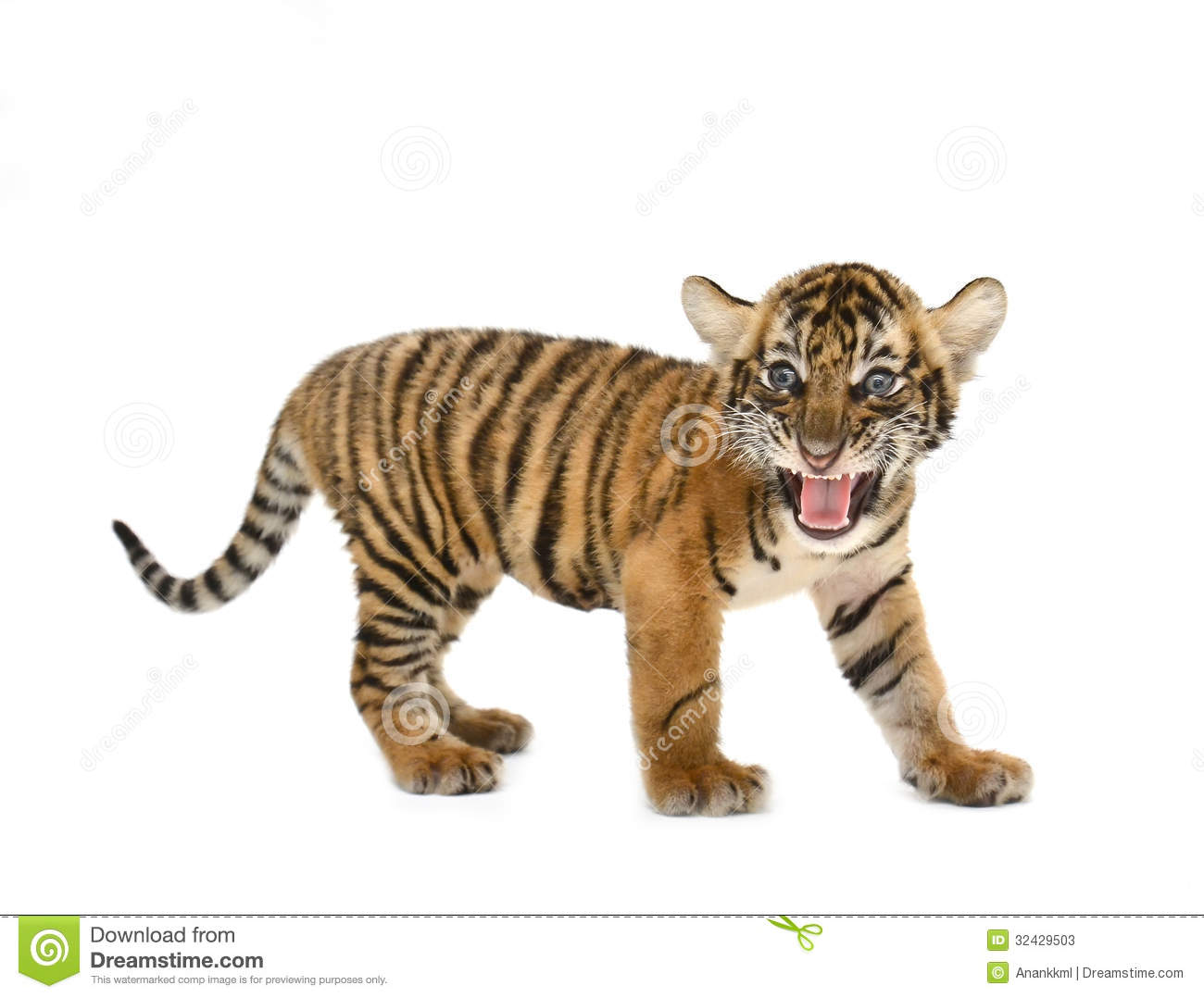 White Tiger clipart bengal tiger Tiger bengal #76 clipart 69