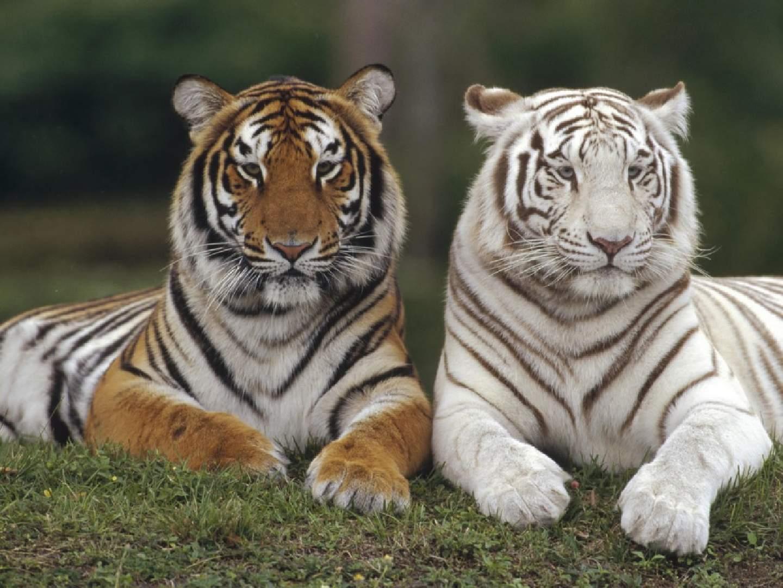 White Tiger clipart bengal tiger Wallpaper albino White tiger orange