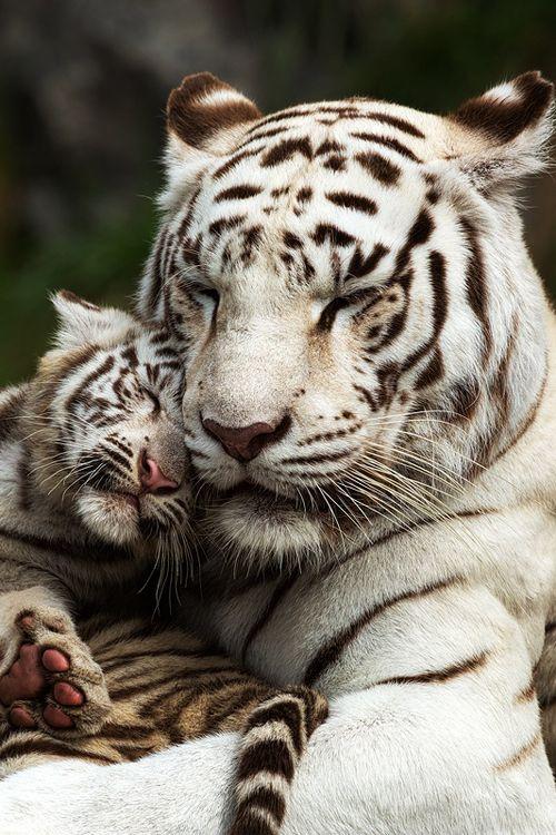 White Tiger clipart two 10+ Guttmann~~ cub ideas Tiger