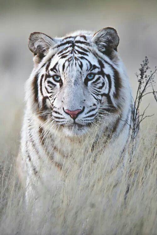 White Tiger clipart two Ideas tiger 25+ tatto More