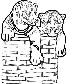 White Tiger clipart two And Lion Small In Lions