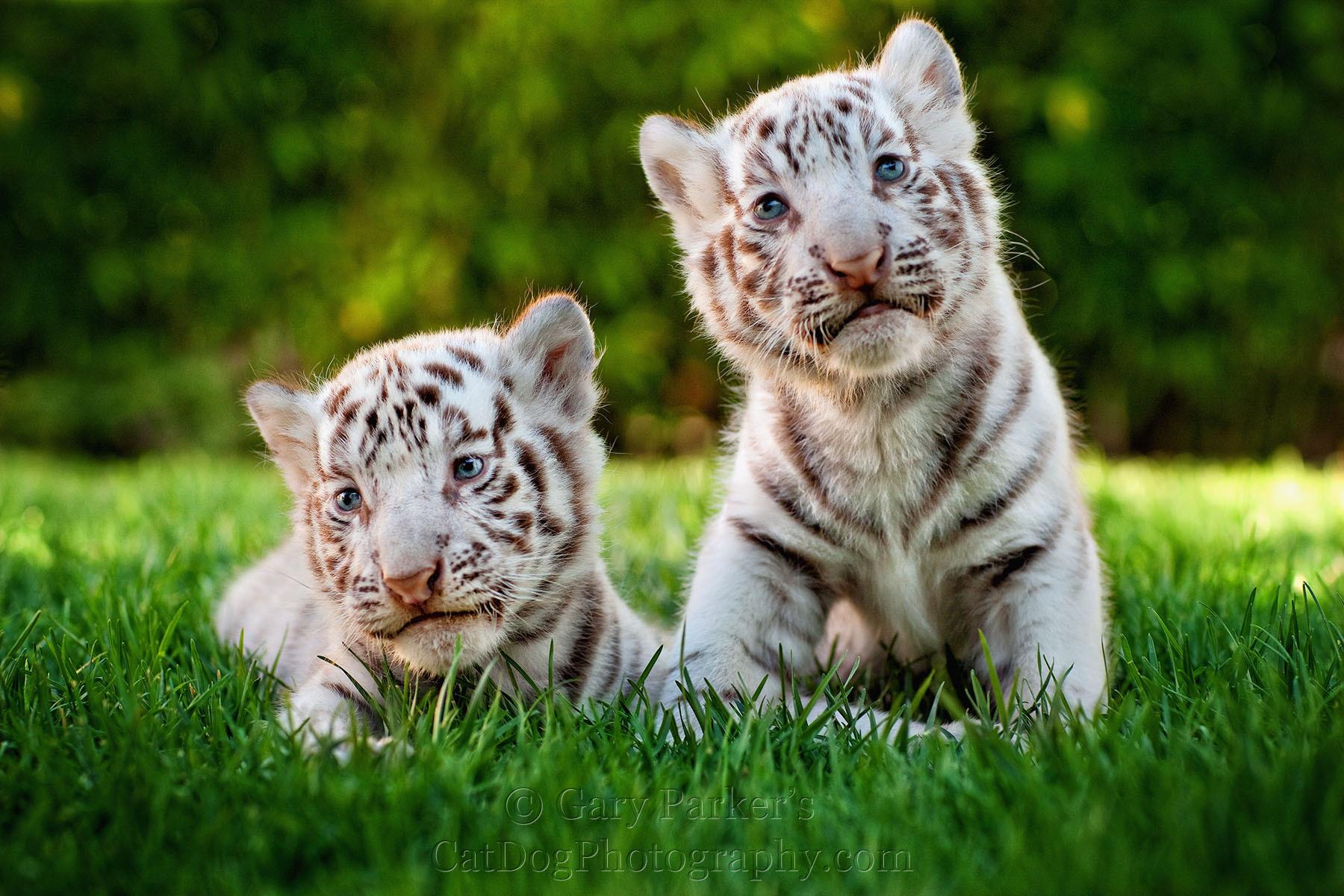 White Tiger clipart two For desktop clipart desktop tiger