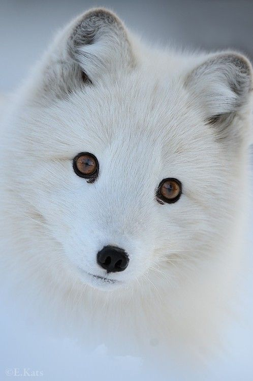 White Wolf clipart arctic fox Arctic Foxes and Fox Edwin