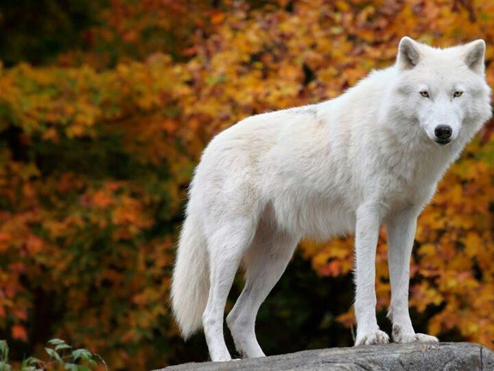White Wolf clipart arctic fox Stock on Pinterest a Photography