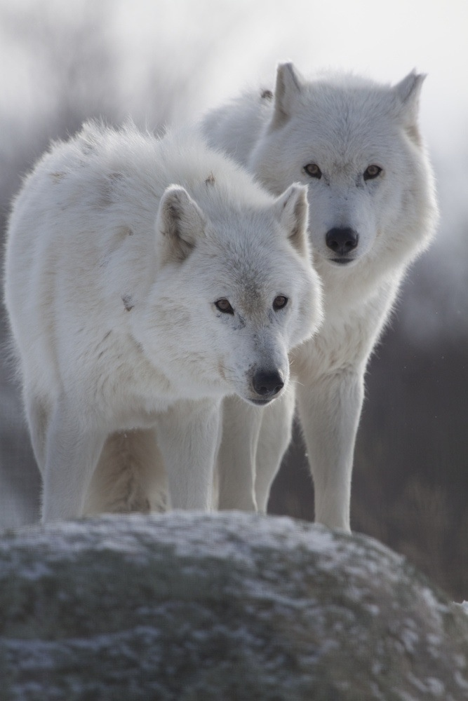 White Wolf clipart arctic fox Find best images this and