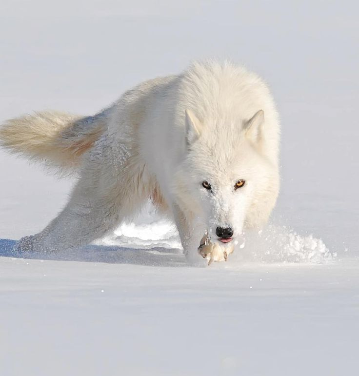 White Wolf clipart arctic fox Wildlife ©Mike Best Planet on