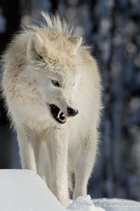 White Wolf clipart arctic fox Photo Such and by Riendeau