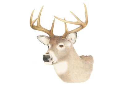 White-tailed Deer clipart Images clipart vector collection art