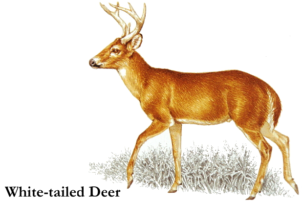 White-tailed Deer clipart Clipart Cliparting clipart com deer