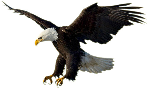 White-tailed Eagle clipart Clipart White White Eagle #16