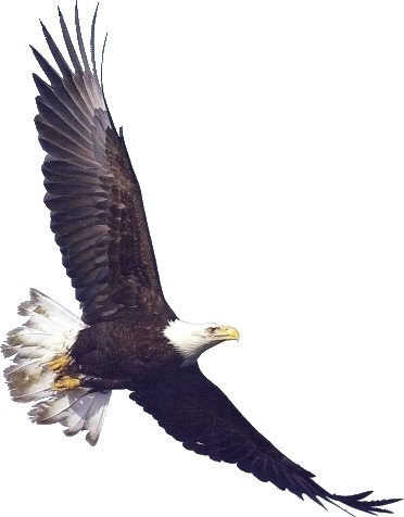 White-tailed Eagle clipart Clipart White White Eagle #4