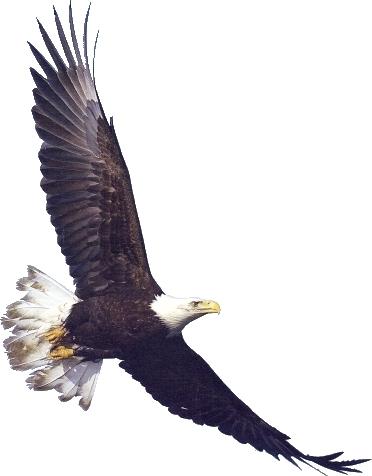Bald Eagle clipart face Eagle clipart Eagle White clipart