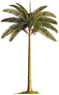 Palm Tree clipart real  para some la kind