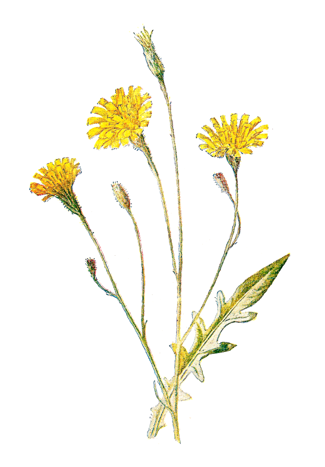 Wildflower clipart Drawings #9 clipart Download Download