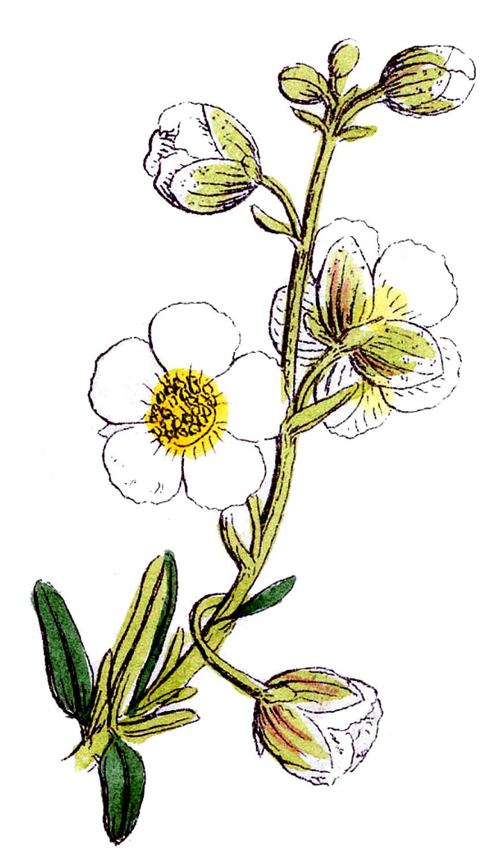 Wildflower clipart Savoronmorehead Savoronmorehead Clipart Clipart Wildflower