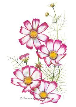 Wildflower clipart cosmos flower Stripe 1147i_Cosmos jpg Candy Seeds