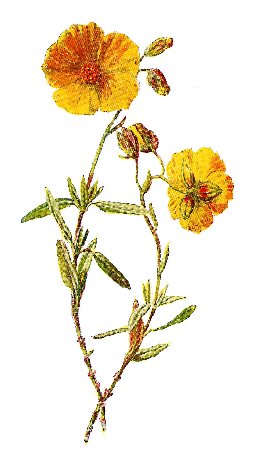 Wildflower clipart flowering plant This more  Decoupage: Pin