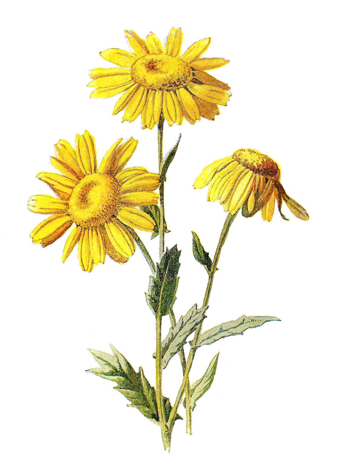 Wildflower clipart royalty free Yellow Each Digital Any stunningly