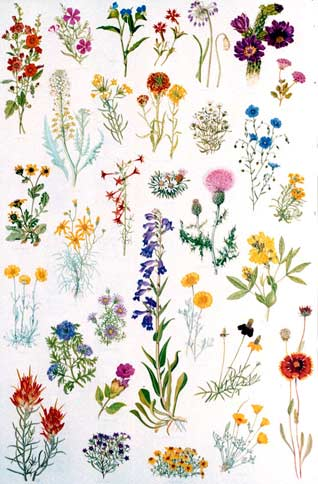 Wildflower clipart southwest Of Society Plant Mexico Posters