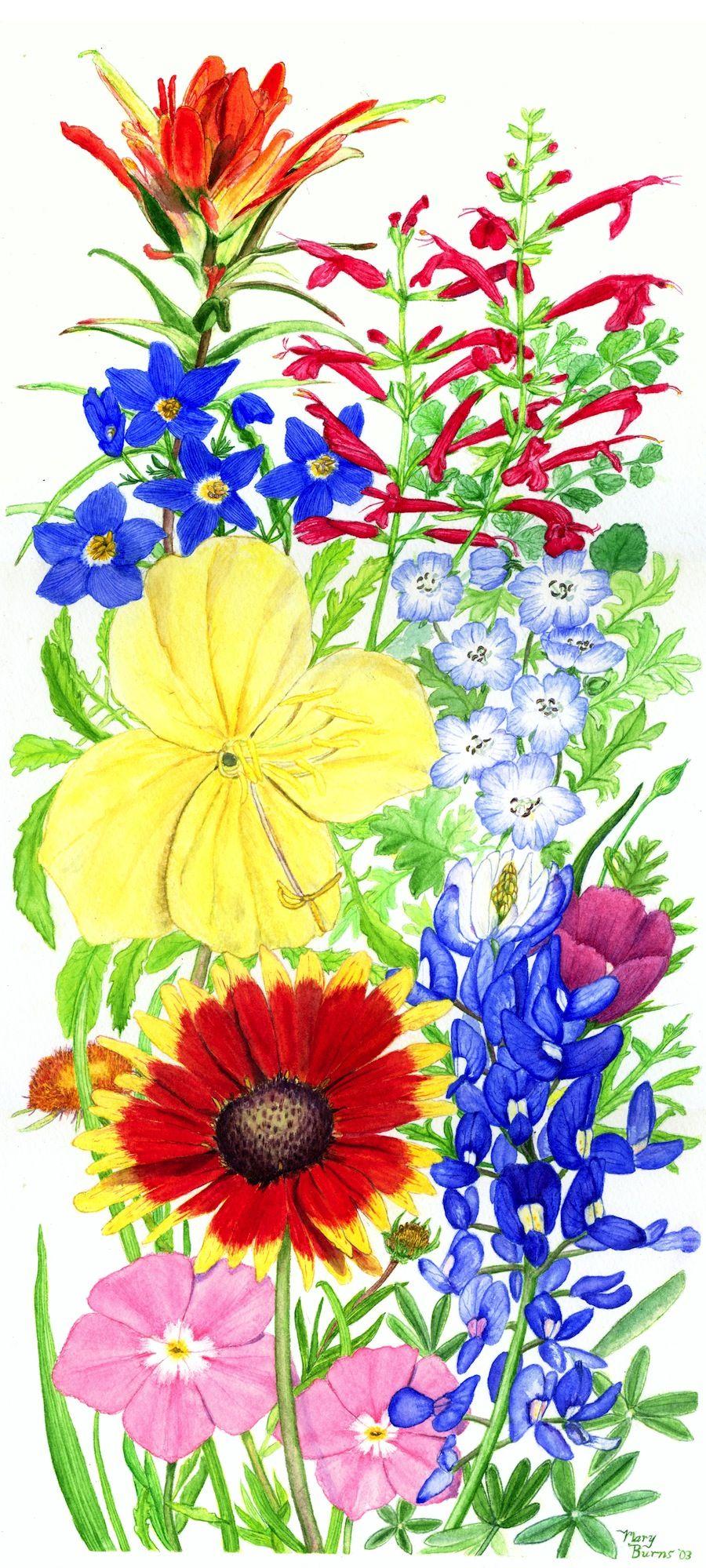 Wildflower clipart texas  Wildflowers Wildflowers Watercolor California