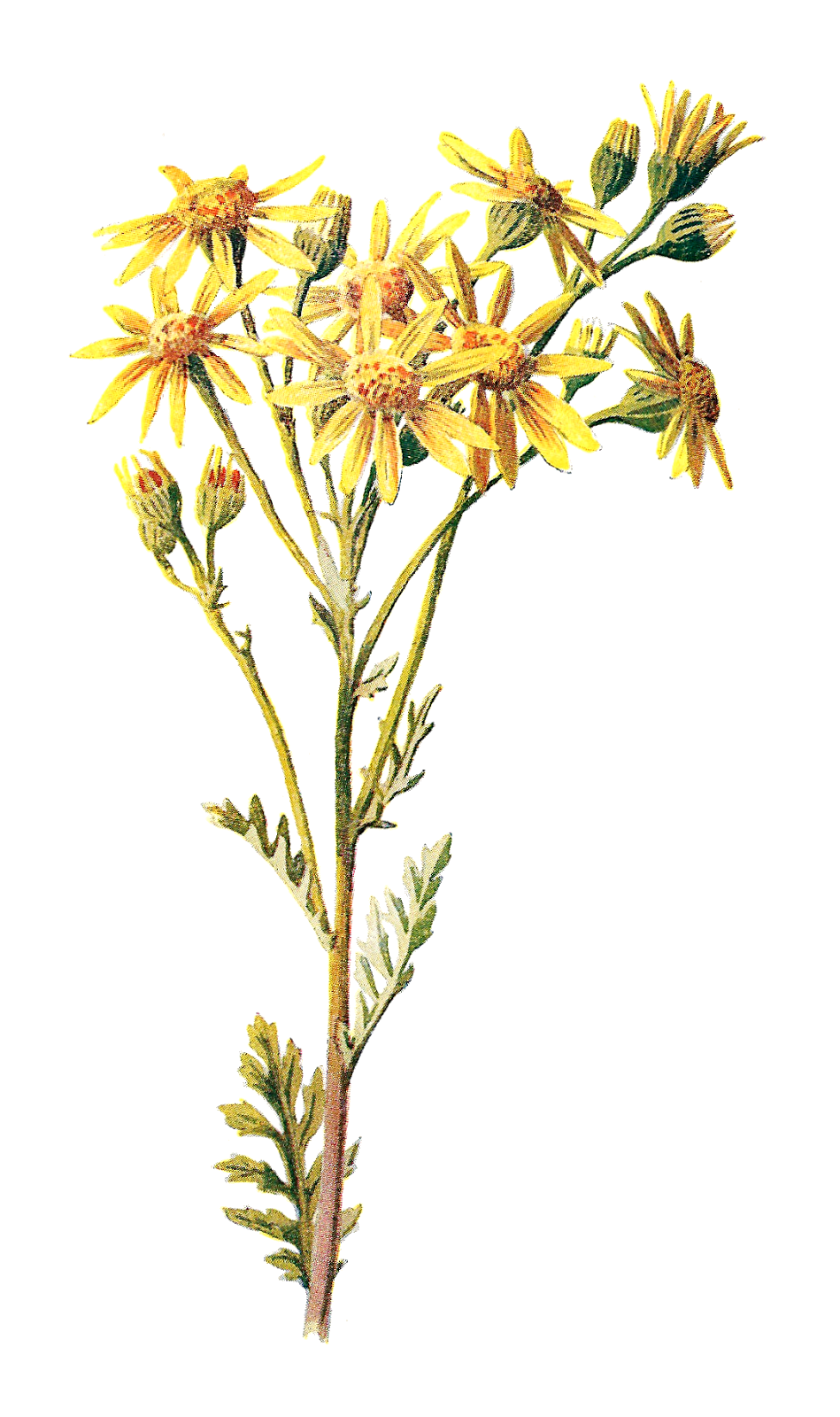 Wildflower clipart yellow flower Digital  Stock Image Illustration