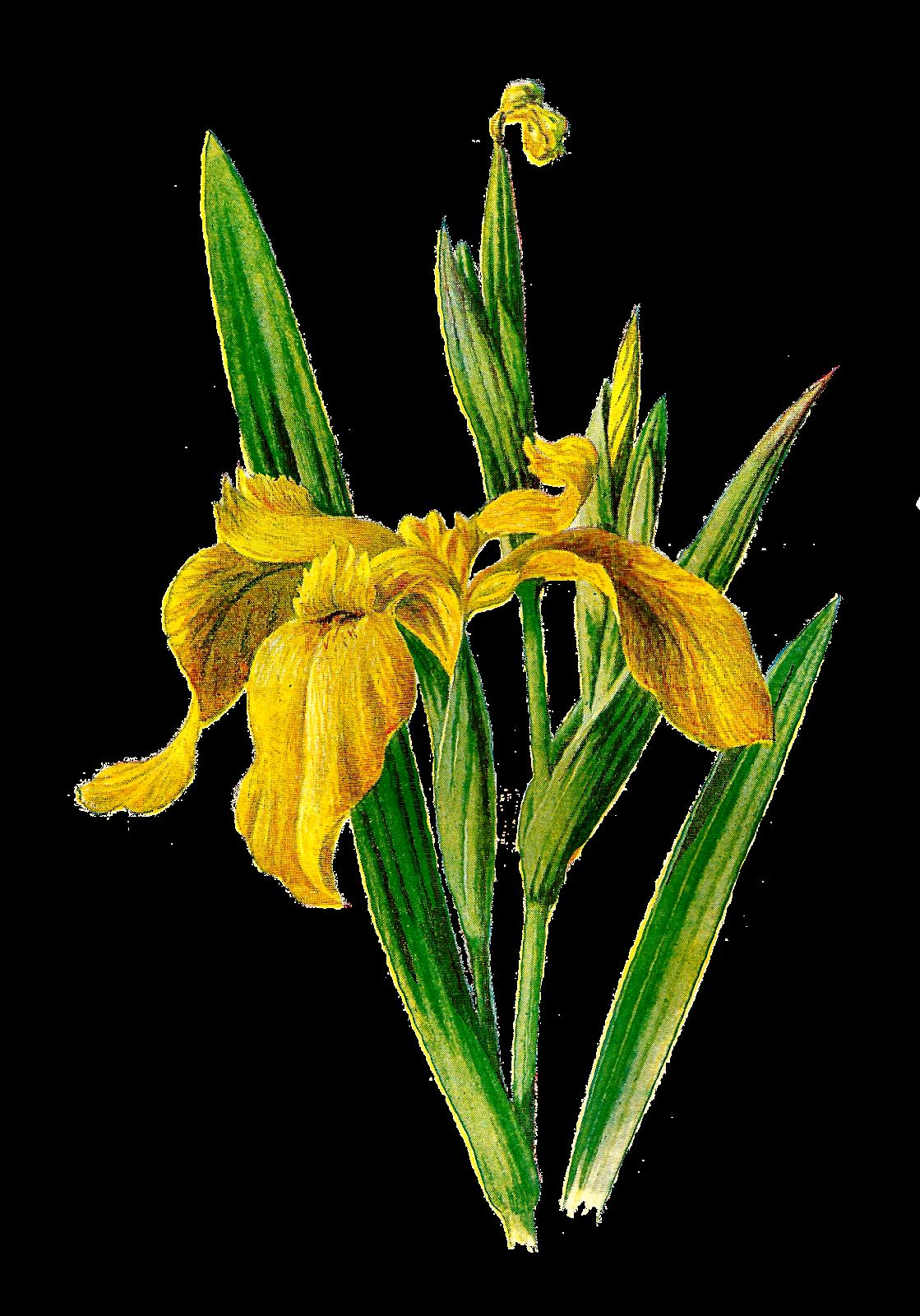Wildflower clipart yellow flower Clip Yellow Wildflower Printable Iris